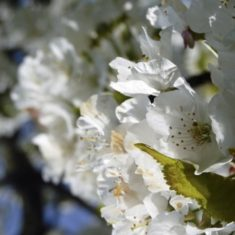 The blossom photos came out particularly well. | Richard Brockbank
