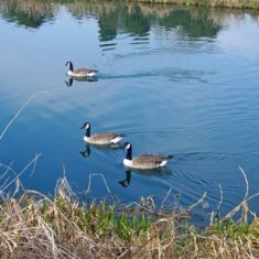 Three Canada geese in the Lee Navigation | by Richard Brockbank