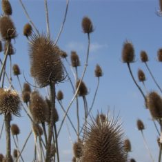 Bull thistles swaying in front of a blue sky | Richard Brockbank