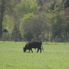 Black bullock grazing | Richard Brockbank