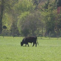 Black bullock grazing   Richard Brockbank