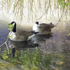 A pair of geese in a spot of shady water near The Old Barge | Richard Brockbank
