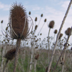 Bull thistles, a little later in the day | Richard Brockbank