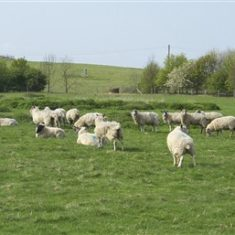 Sheep grazing above the landfill | Richard Brockbank