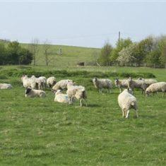 Sheep grazing above the landfill   Richard Brockbank