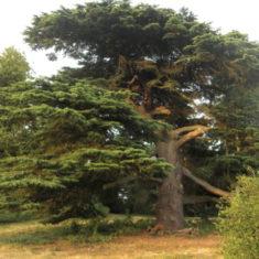 The Pashanger Oak