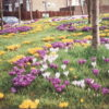A Roundabout of Crocuses