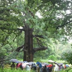 The Panshanger Oak