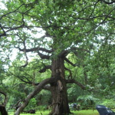 Photograph of a large oak tree in the late summer